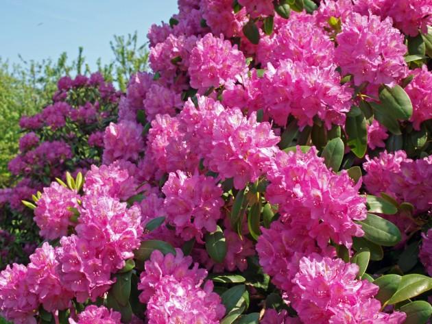 Rododendrų dauginimas